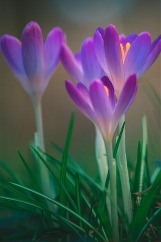 iPhone Wallpaper Pink crocuses bloom, spring flowers