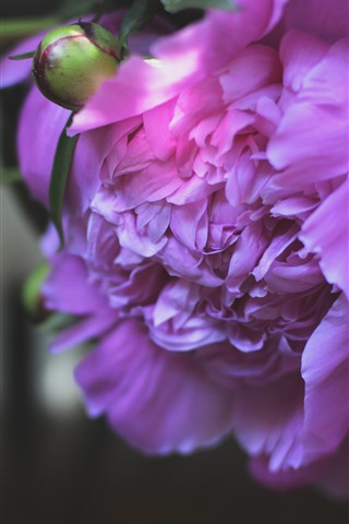 iPhone Wallpaper Pink peony, petals, hazy