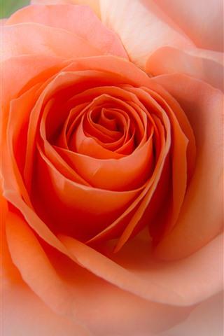 iPhone Wallpaper Pink rose close-up, hazy, flower