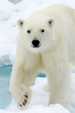 iPhone Wallpaper Polar bear look at you, face, snow