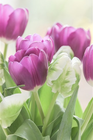 iPhone Wallpaper Purple and green tulips, flowers