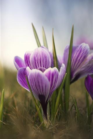 iPhone Wallpaper Purple crocuses, petals, bokeh