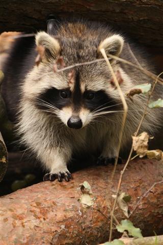 iPhone Wallpaper Raccoon, wood