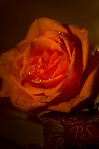 iPhone Wallpaper Red rose, water droplets, book