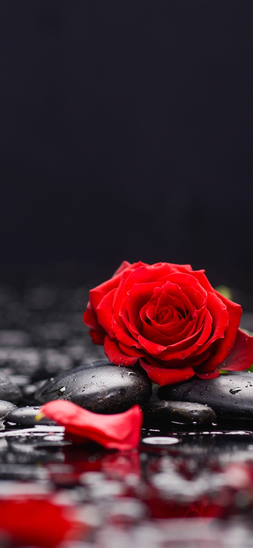 Red Roses And Petals Stones Water 1242x2688 Iphone 11 Pro Xs Max Wallpaper Background Picture Image