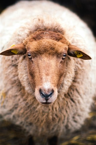 iPhone Wallpaper Sheep look at you, head, hazy background