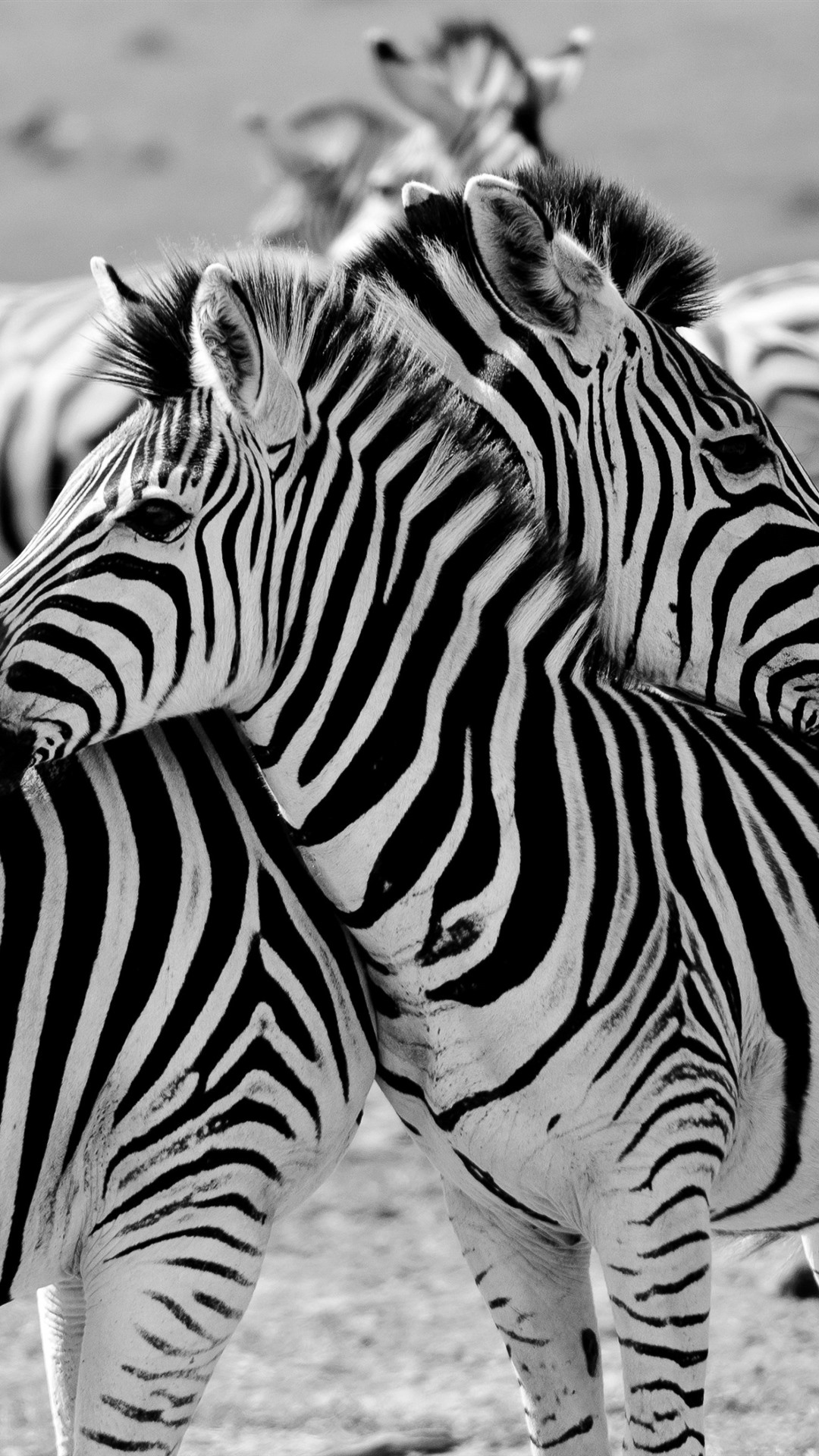 Some Zebras Africa 1080x1920 Iphone 8 7 6 6s Plus Wallpaper