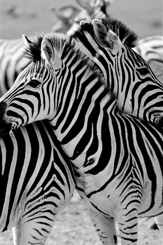 iPhone Wallpaper Some zebras, Africa