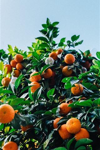iPhone Wallpaper Tangerines tree, harvest