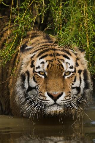 iPhone Wallpaper Tiger, face, look, grass, water
