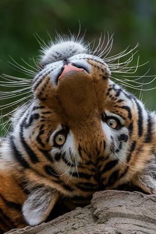 iPhone Wallpaper Tiger rest, look back, head