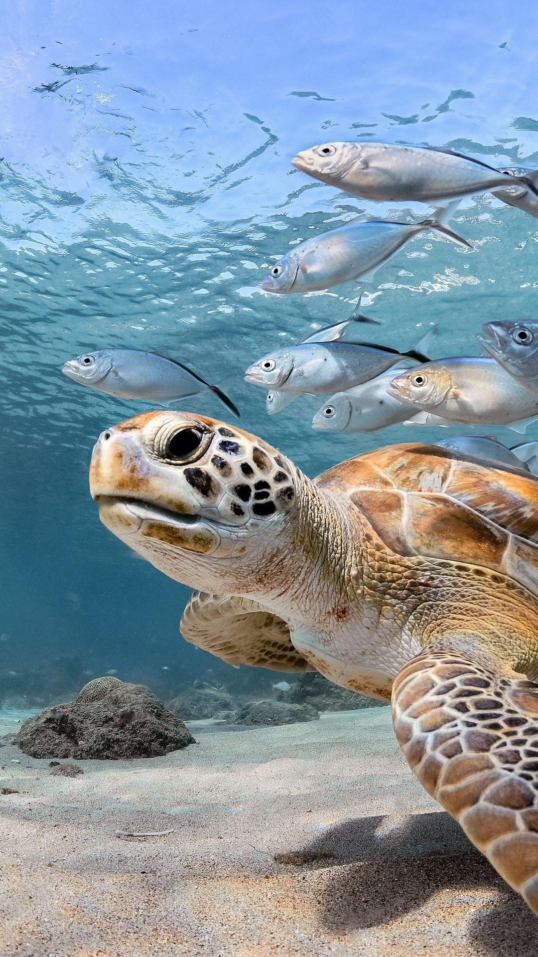 Turtle And Fish Sea Underwater 1080x1920 Iphone 8 7 6 6s Plus