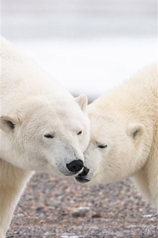 iPhone Wallpaper Two polar bears, wildlife