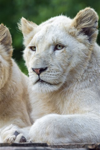 iPhone Wallpaper Two white lions, rest