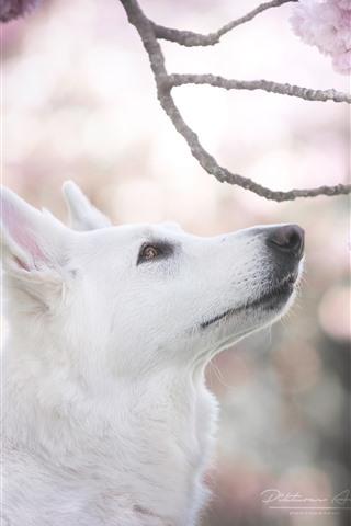 iPhone Wallpaper White dog, head, pink sakura bloom