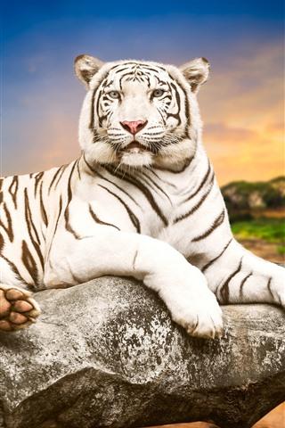 iPhone Wallpaper White tiger, stone, dusk