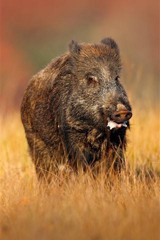 iPhone Wallpaper Wild boar, yellow grass