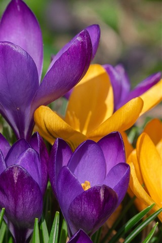 iPhone Wallpaper Yellow and purple crocus, spring flowers