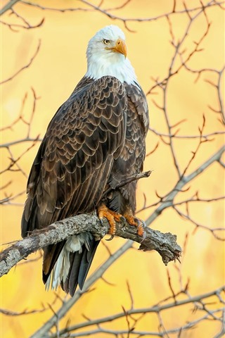 iPhone Wallpaper Bald eagle, tree, yellow background