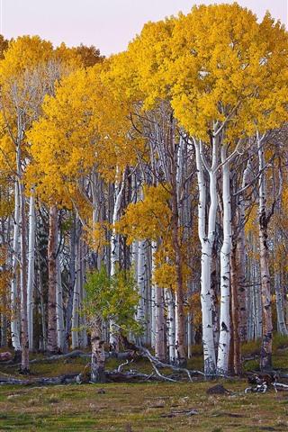 iPhone Wallpaper Birch, trees, yellow foliage, autumn
