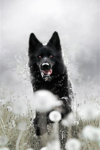 iPhone Wallpaper Black dog running, dandelion, hazy