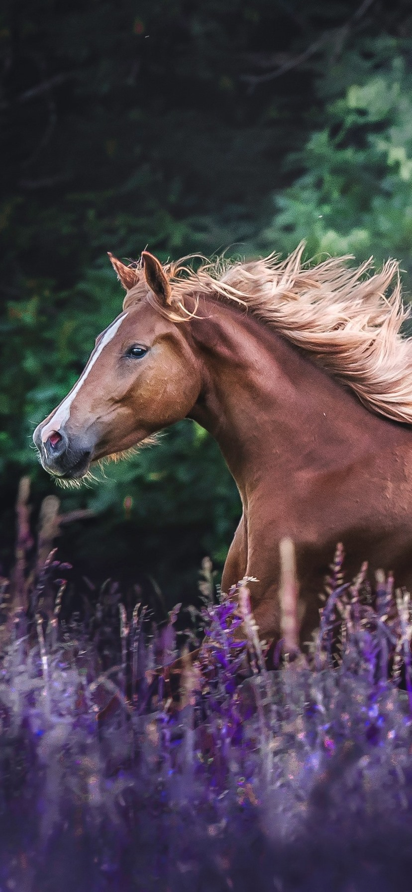 Brown Horse Running Lavender Flowers 828x1792 Iphone 11 Xr Wallpaper Background Picture Image