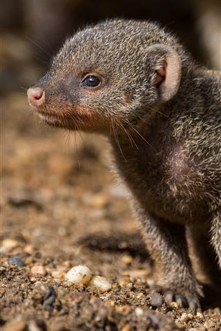 iPhone Wallpaper Cute mongoose cub
