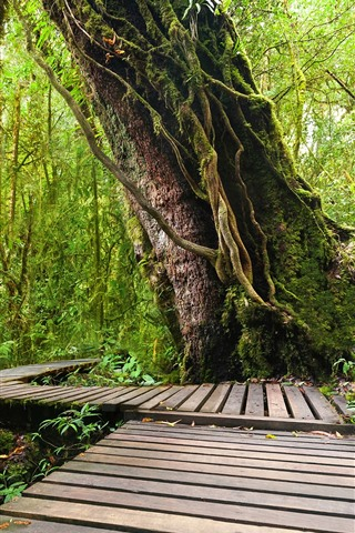 iPhone Wallpaper Doi Inthanon National Park, jungle, trees, wood footpath, Thailand