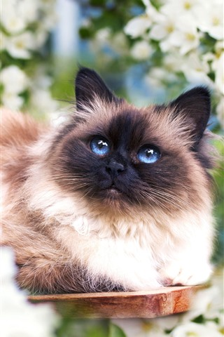 iPhone Wallpaper Furry cat, blue eyes, white flowers, spring