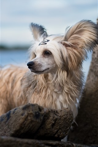 iPhone Wallpaper Furry white dog, rocks