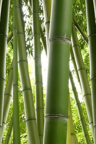 iPhone Wallpaper Green bamboo, nature