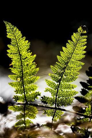 iPhone Wallpaper Green fern leaves, water, backlight
