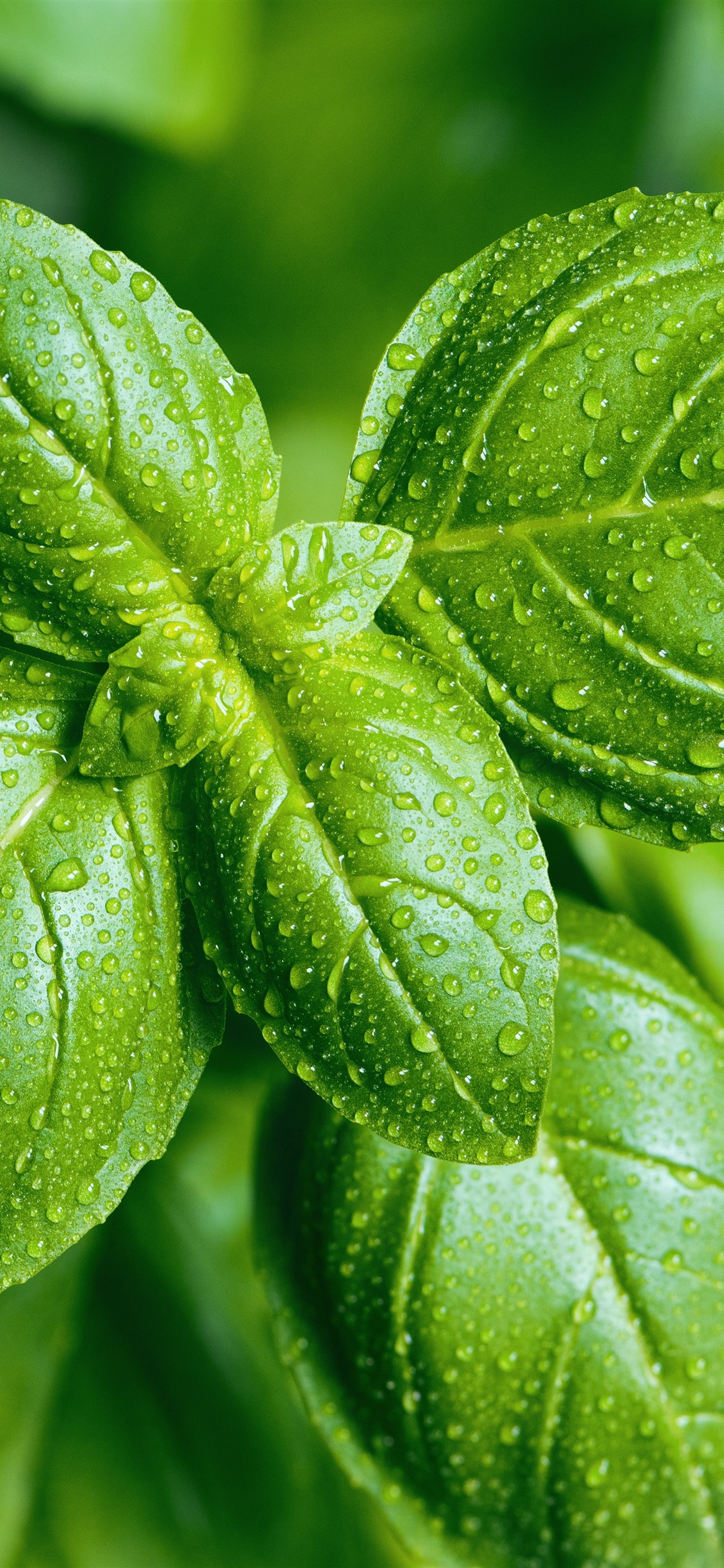 Green Foliage Close Up Water Droplets 1242x2688 Iphone Xs