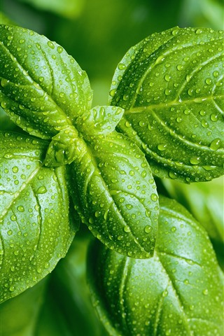 iPhone Wallpaper Green foliage close-up, water droplets
