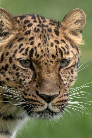 iPhone Wallpaper Leopard, look, head, green background