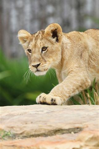 iPhone Wallpaper Lion cub