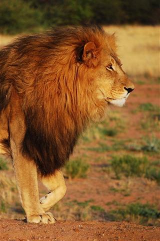iPhone Wallpaper Lion, mane, wildlife, Africa