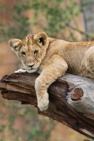 iPhone Wallpaper Lion rest, tree trunk