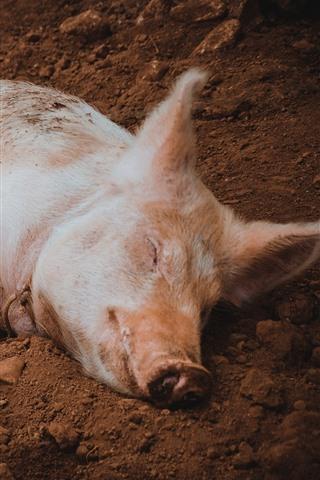 iPhone Wallpaper Little pig sleep on ground