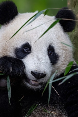 iPhone Wallpaper Lovely animal, panda