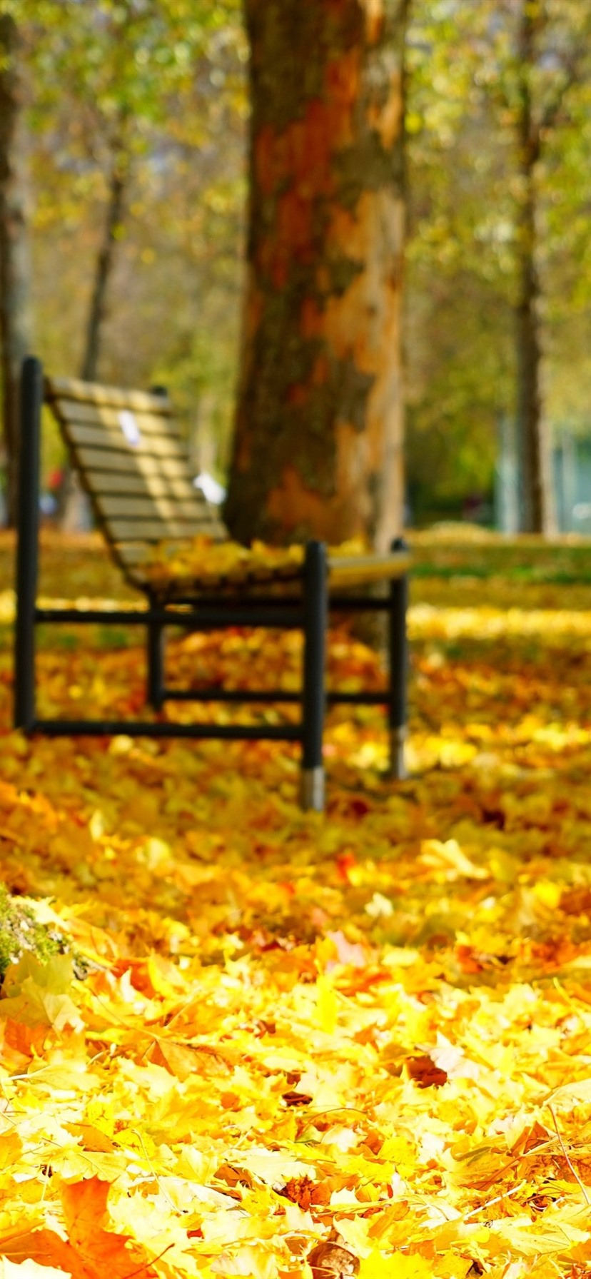 Many Golden Maple Leaves Bench Trees Autumn Park