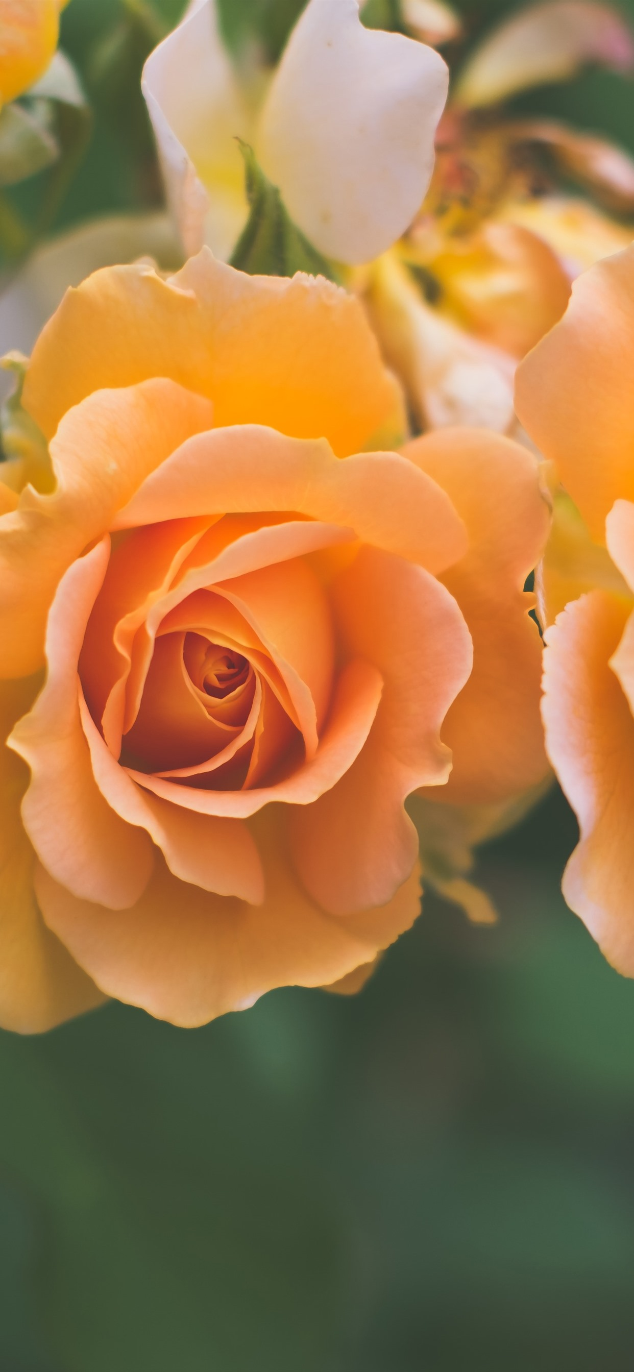 Orange Roses Close Up Hazy Background 1242x2688 Iphone 11 Pro Xs Max Wallpaper Background Picture Image