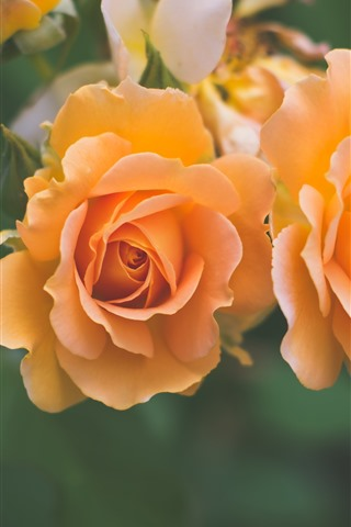 iPhone Wallpaper Orange roses close-up, hazy background
