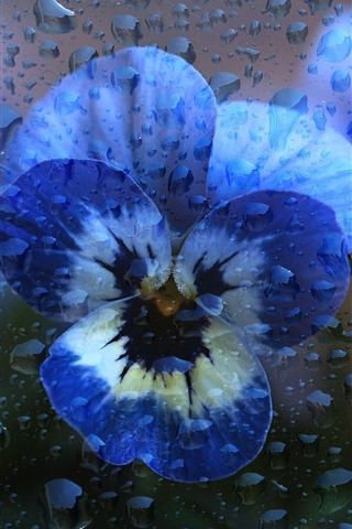 iPhone Wallpaper Pansy, water droplets, creative picture