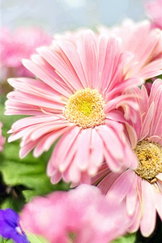 iPhone Wallpaper Pink daisy, spring flowers