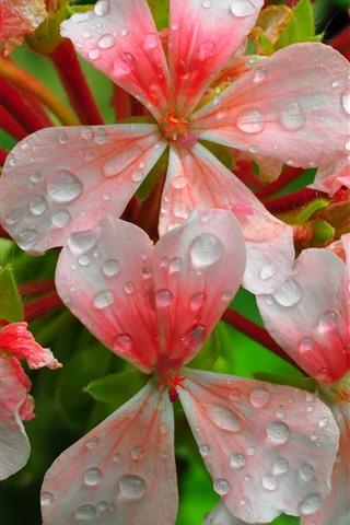 iPhone Wallpaper Pink flowers, petals, water droplets