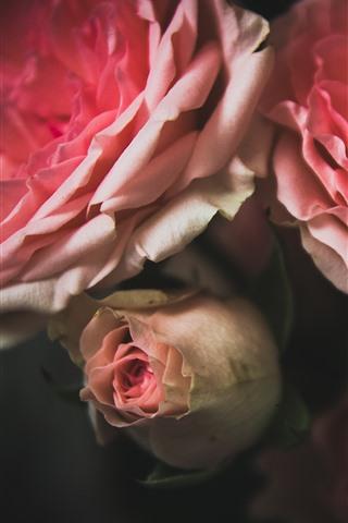 iPhone Wallpaper Pink roses, petals, hazy