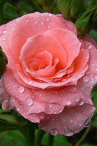 iPhone Wallpaper Pink roses, water droplets, hazy background