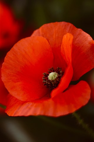 iPhone Wallpaper Red poppies, petals, flower close-up