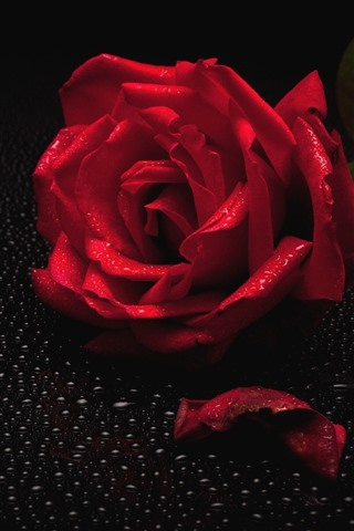 iPhone Wallpaper Red rose, petal, water droplets, black background